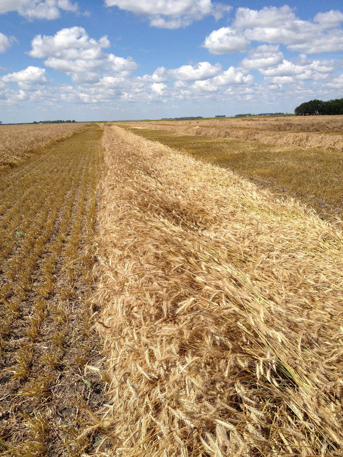 Rye Harvest at Far North Spirits