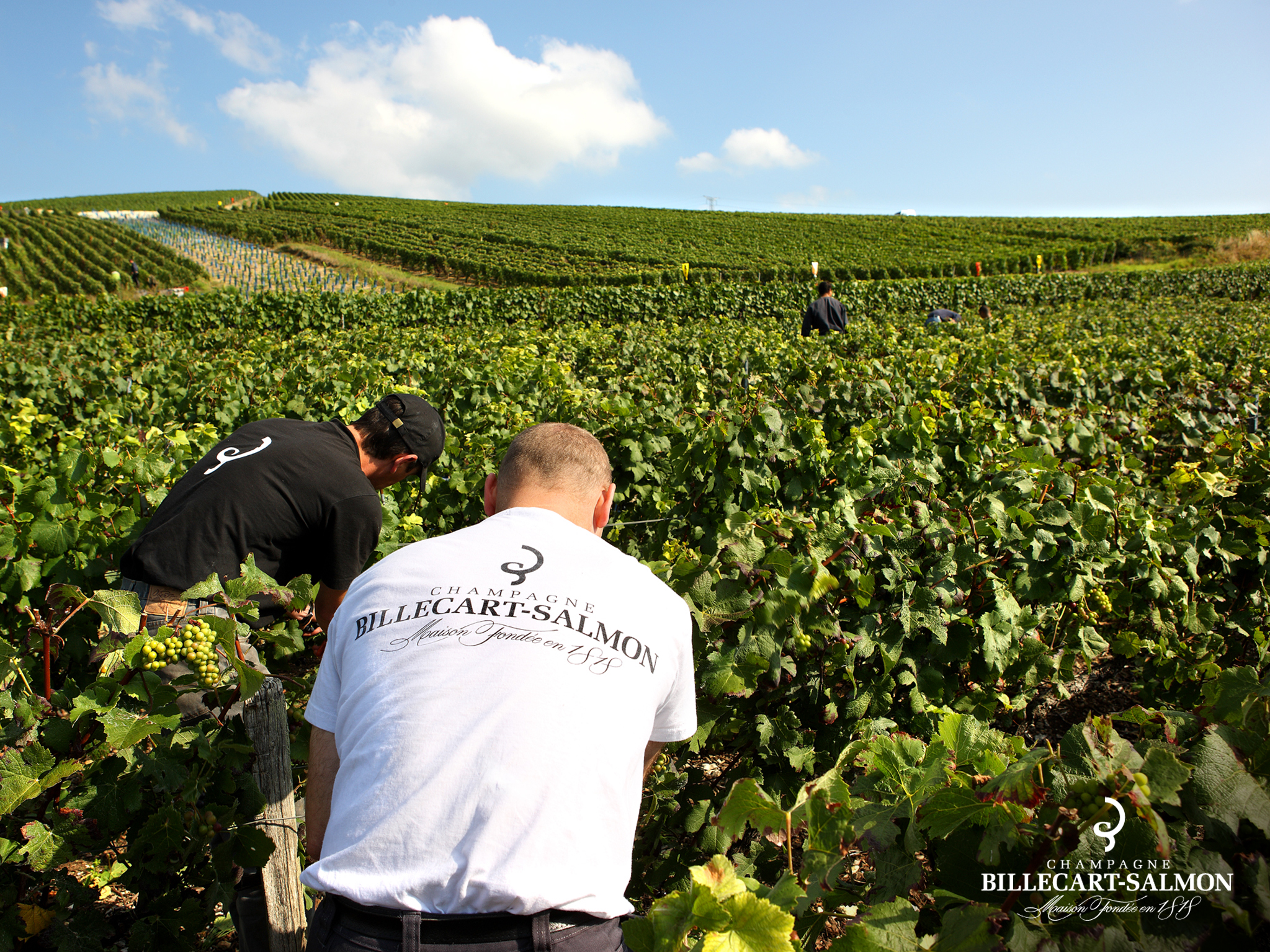 Billecart-Salmon Vintage Report 2011