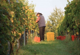 Harvest Report from Marco Cecchini 2011