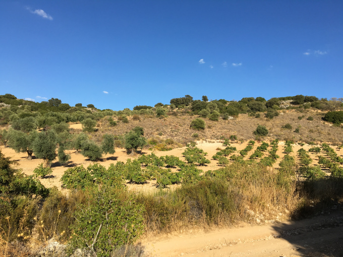 A small plot of 100-year-old Malvar vines