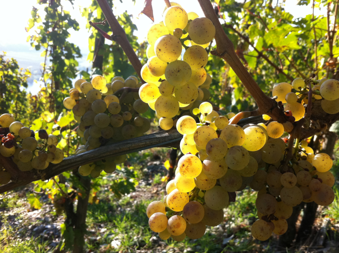 Riesling Harvest Report 2011 from Sybille Kuntz Estate