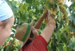 Fattori Wines–The Garganega Harvest August 30, 2011